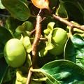 写真: 肥えてきた柿の実@富有柿