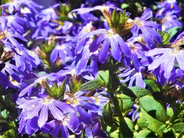 爽やかに咲く 夏の花@ブルーファンフラワー