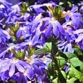 写真: 爽やかに咲く 夏の花@ブルーファンフラワー