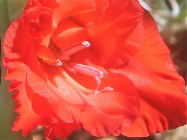 猛暑に咲く 赤橙(あか)い グラジオラス