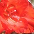 Photos: 猛暑に咲く 赤橙(あか)い グラジオラス