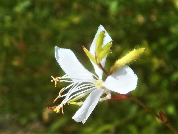 猛暑の中に咲く 白い花@ハクチョウソウ