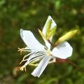写真: 猛暑の中に咲く 白い花@ハクチョウソウ