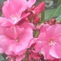 写真: 晩夏に咲く@薄紅色の夾竹桃(キョウチクトウ)