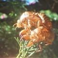 Photos: どうなってんの~@初秋の不思議な空蝉たち@瑠璃山周辺