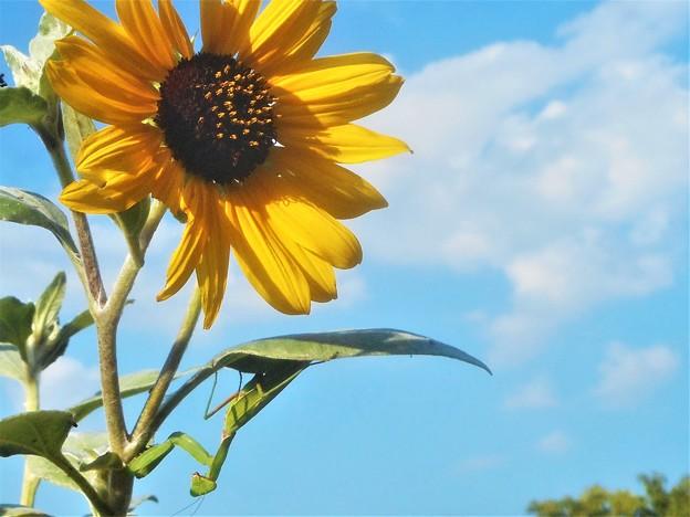 写真: 向日葵(ヒマワリ)と蟷螂(カマキリ)と初秋の青空@びんご運動公園