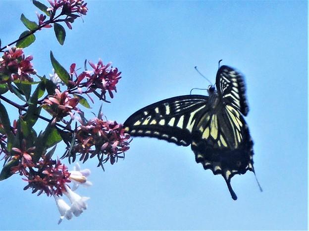 空高く アゲハ舞う@アベリアの花@瑠璃山周辺
