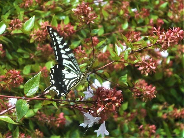 アベリアの花にアゲハチョウ(ナミアゲハ)@初秋の浄土寺山周辺