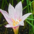 秋雨に咲く サフランモドキ