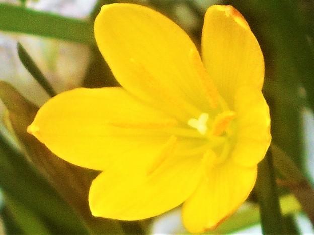 秋に咲く 黄色いタマスダレ
