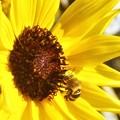 写真: 向日葵(ヒマワリ)とミツバチくん@秋のびんご運動公園