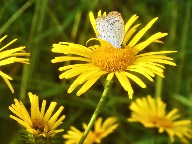 秋の高原のヤマトシジミ@アルニカの花