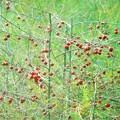 アスパラガスの紅い実@秋のアスパラ畑@久山田水源地