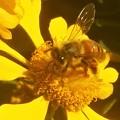 写真: ヘレニウムに ミツバチくん@ビンゴ運動公園
