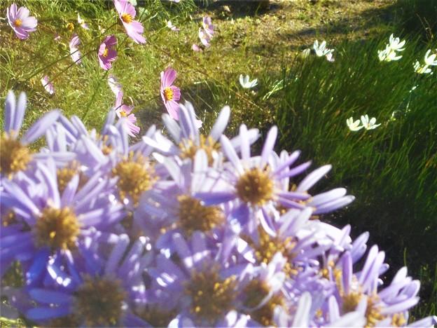 高原の タマスダレ、秋桜、紫苑(シオン)