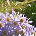 写真: 高原の タマスダレ、秋桜、紫苑(シオン)
