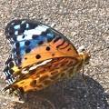 写真: 羽化後間もないツマグロヒョウモン(♀)@公園外周ウォーキングコース