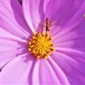 写真: 秋桜(コスモス)と元気な ヒラタアブくん