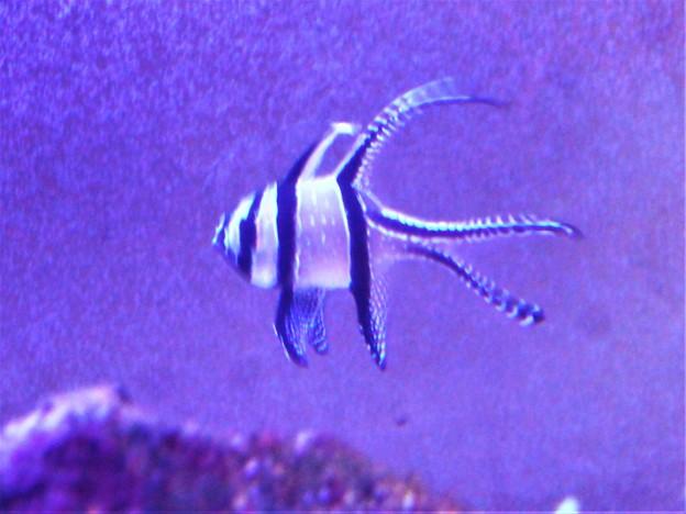 エンゼルフィッシュの変種を発見@瀬戸内マリン水族館