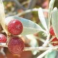写真: グミのような@爽秋のロシアンオリーブの紅い実