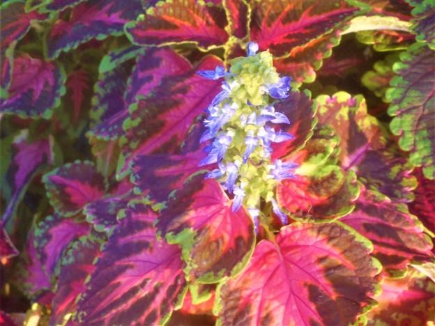 花も美しい 秋の観葉植物コリウス@三原城址周辺