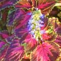 Photos: 花も美しい 秋の観葉植物コリウス@三原城址周辺