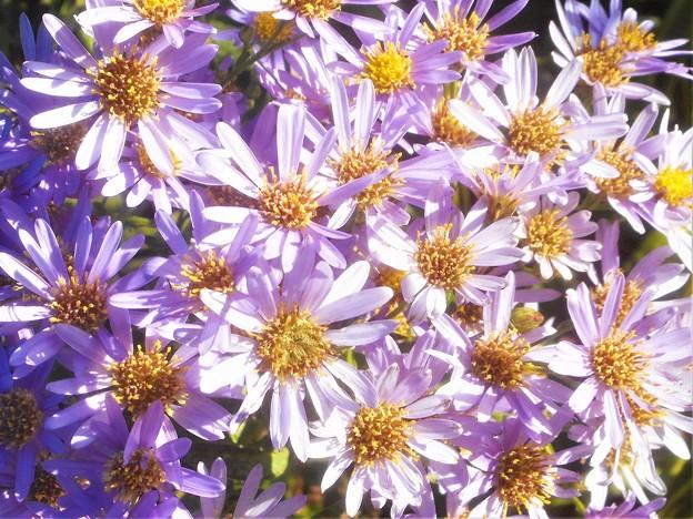 満開の紫苑(シオン)@秋咲きのアスター@涼しい高原