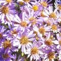 Photos: 満開の紫苑(シオン)@秋咲きのアスター@涼しい高原