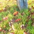 桜の紅葉@落ち葉