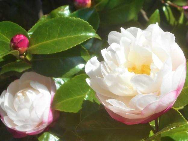 晩秋の八重の山茶花(サザンカ)