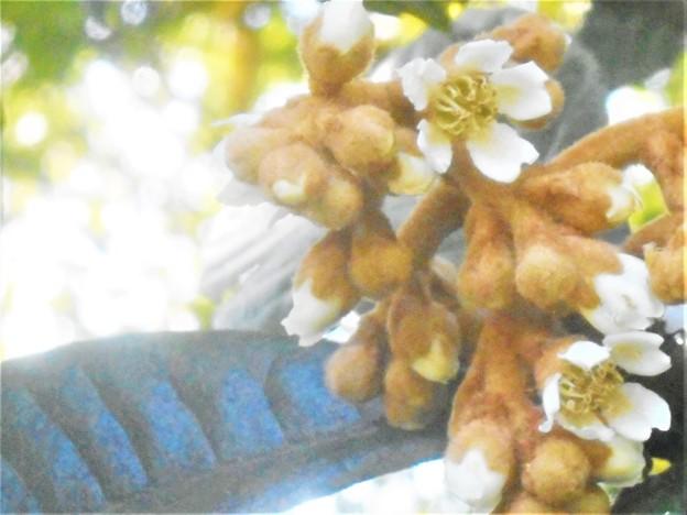枇杷(ビワ)の花@瑠璃山