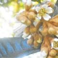 写真: 枇杷(ビワ)の花@瑠璃山