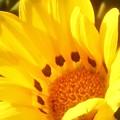 秋に咲く陽気なガザニア@千光寺山