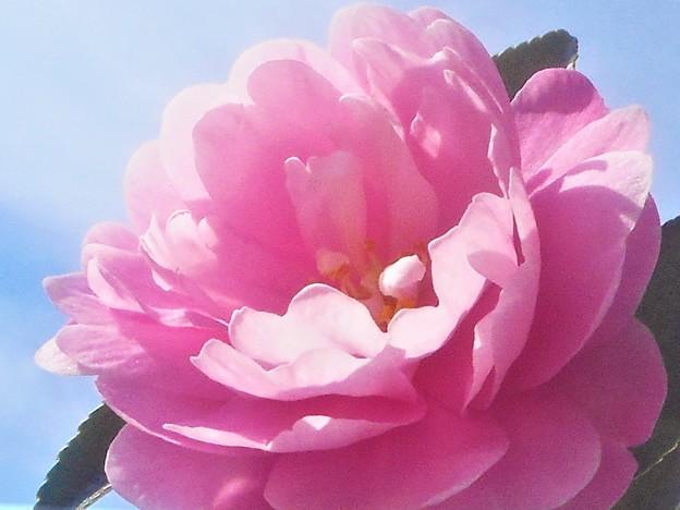 薄紅色に咲く@八重のサザンカ in 千光寺山