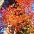 写真: 杉木立の紅葉@佛通寺