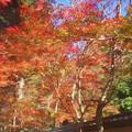 写真: 参道の杉木立の紅葉@佛通寺