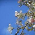 写真: 冬桜1