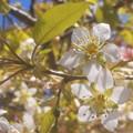 師走に凛として 冬桜咲く@(別名)十月桜
