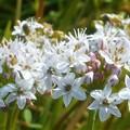 野に咲くニラの花