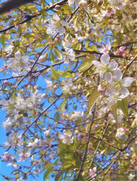 師走に咲く冬桜@(別名)十月桜