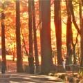 写真: 杉木立の紅葉@佛通寺・参道