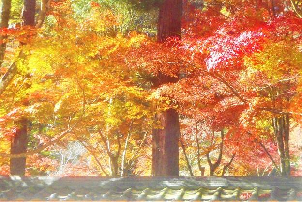 杉木立の参道の彩り@佛通寺の紅葉