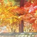 Photos: 杉木立の参道の彩り@佛通寺の紅葉