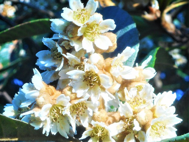 千光寺山の枇杷(ビワ)の花