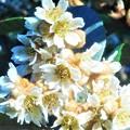 Photos: 千光寺山の枇杷(ビワ)の花