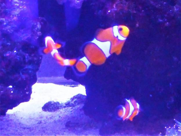 元気に遊ぶ カクレクマノミ(ニモ)たち@瀬戸内マリン水族館