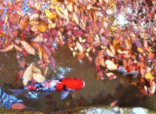 晩秋の崑崗池(コンコウイケ)の緋鯉たち@佛通寺