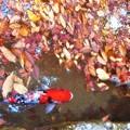 Photos: 晩秋の崑崗池(コンコウイケ)の緋鯉たち@佛通寺