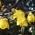 Photos: 新春の甘い香りのソシンロウバイ@高諸神社周辺