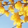 早春に咲く@甘く薫るソシンロウバイ